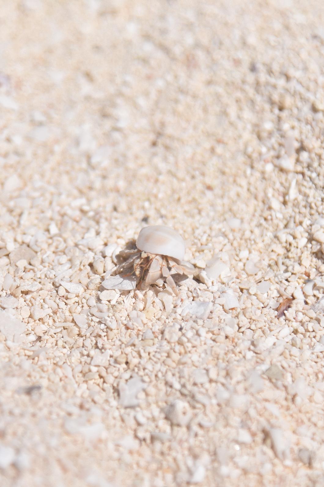Petit bigorneaux à Tetiaroa