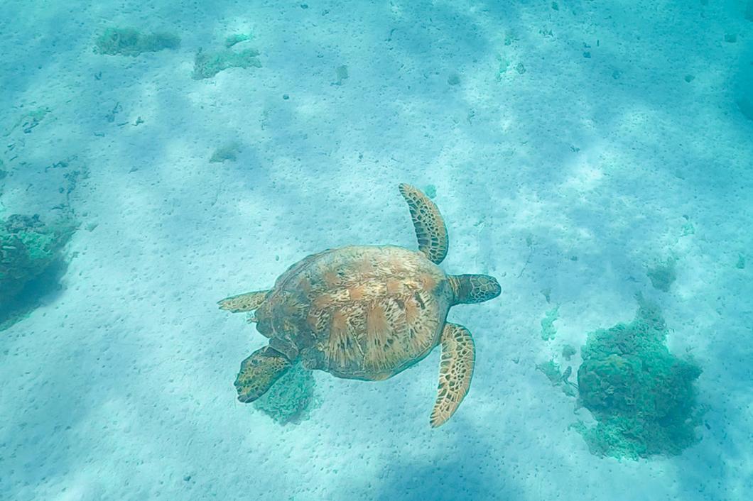 Que faire à Moorea ? Nager avec les tortues