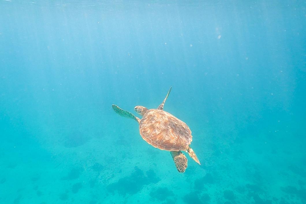 Aller voir les tortues de Moorea