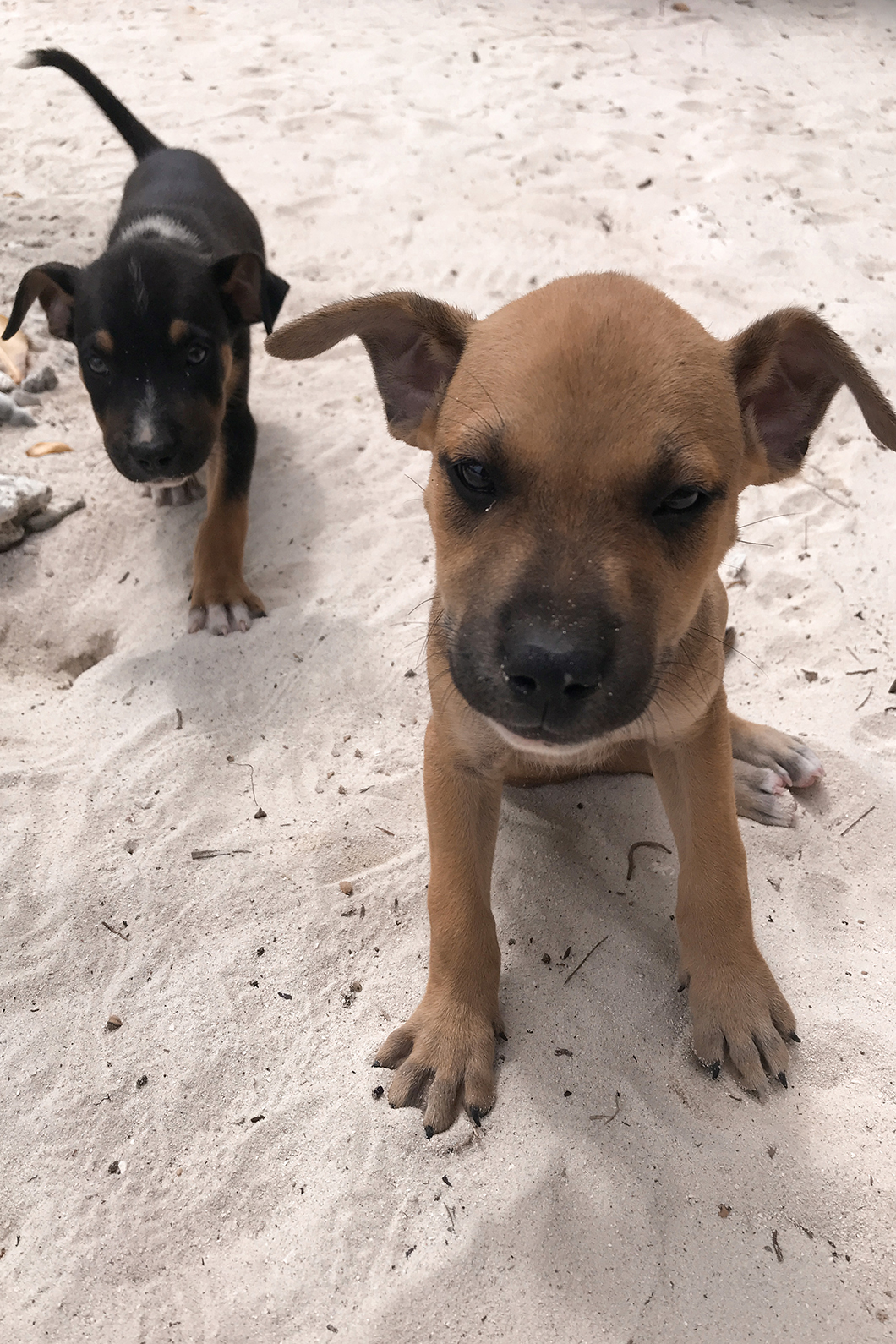 Petits chiens sur le motu