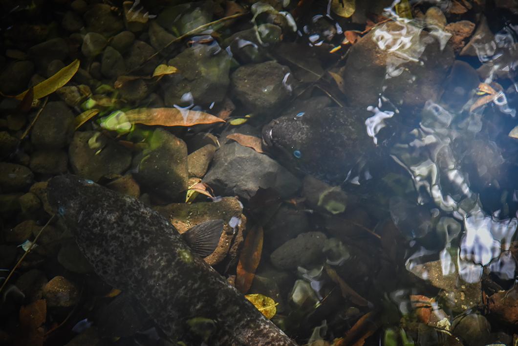 Incontournable à Huahine, Aller voir les anguilles sacrées de Faie