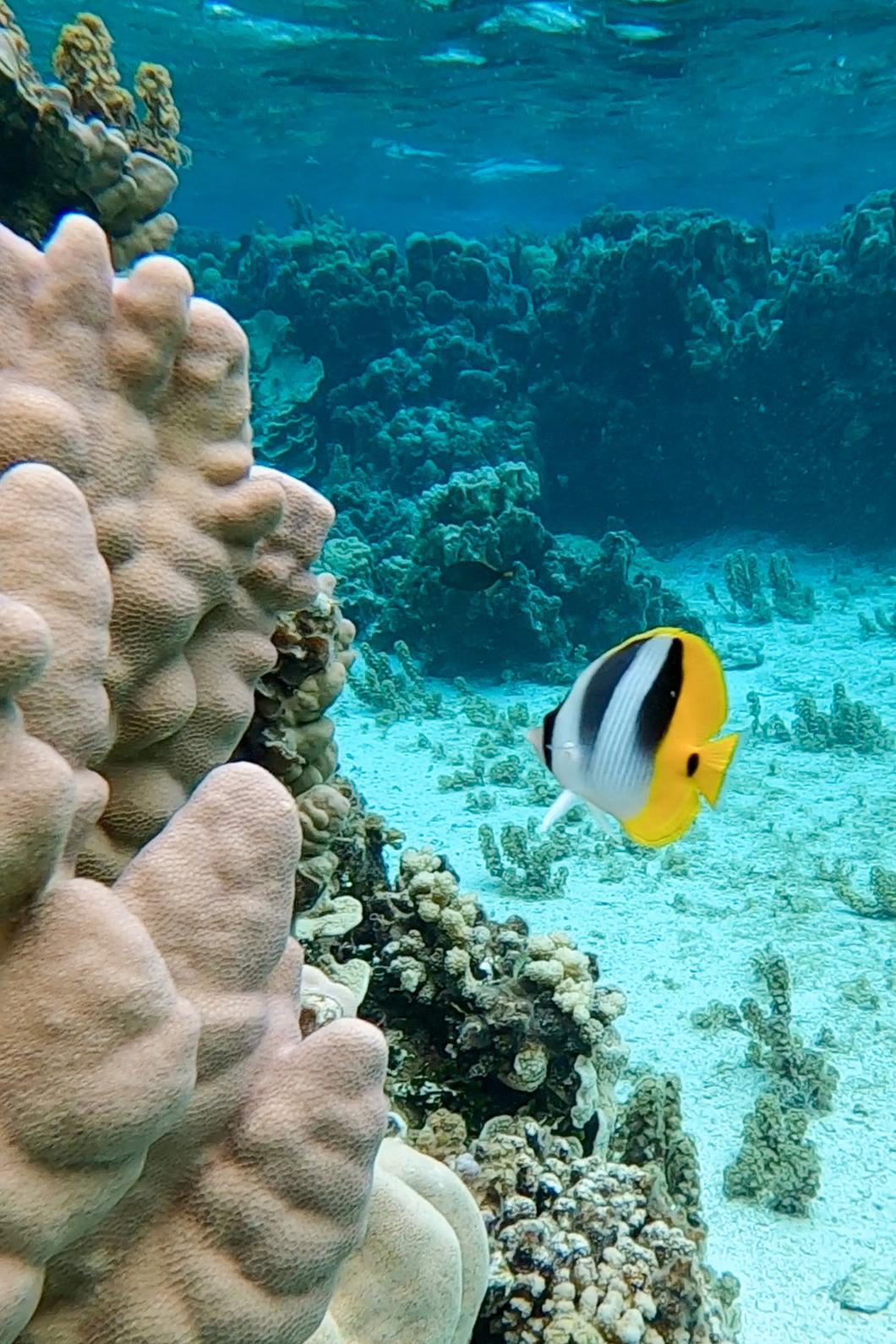 Faire du snorkeling dans le jardin de corail de Maupiti