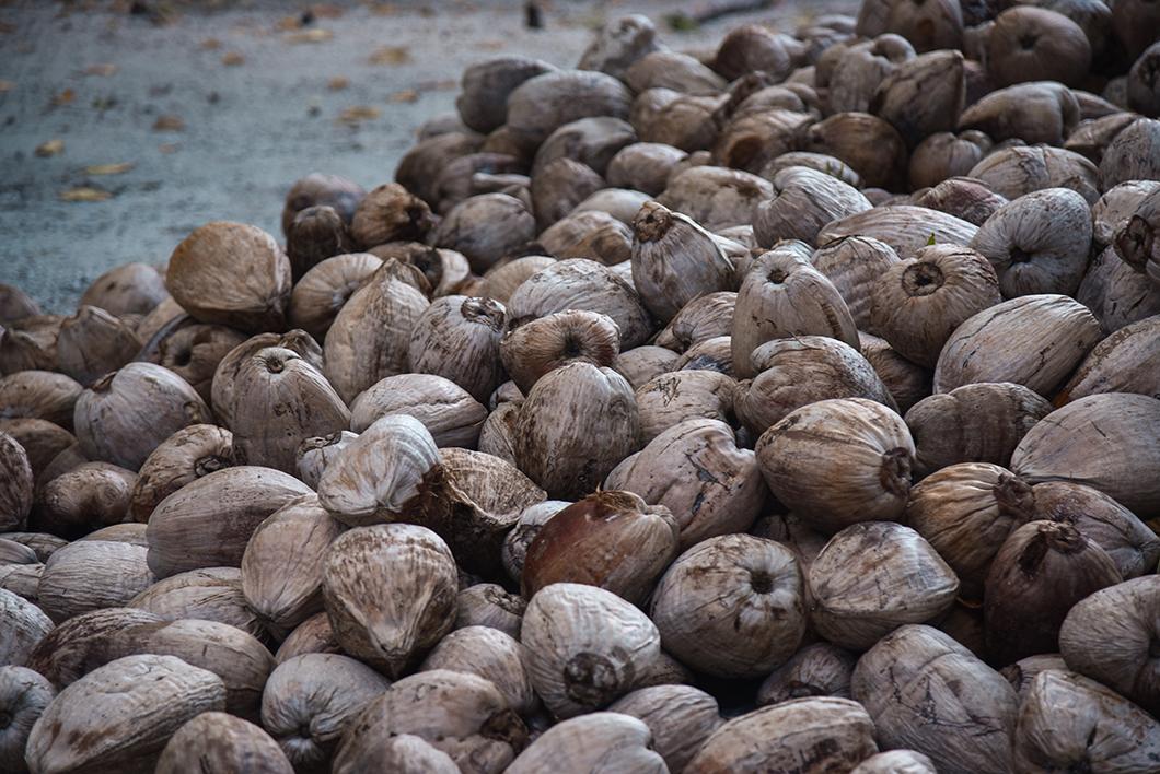 Les noix de coco de Maupiti