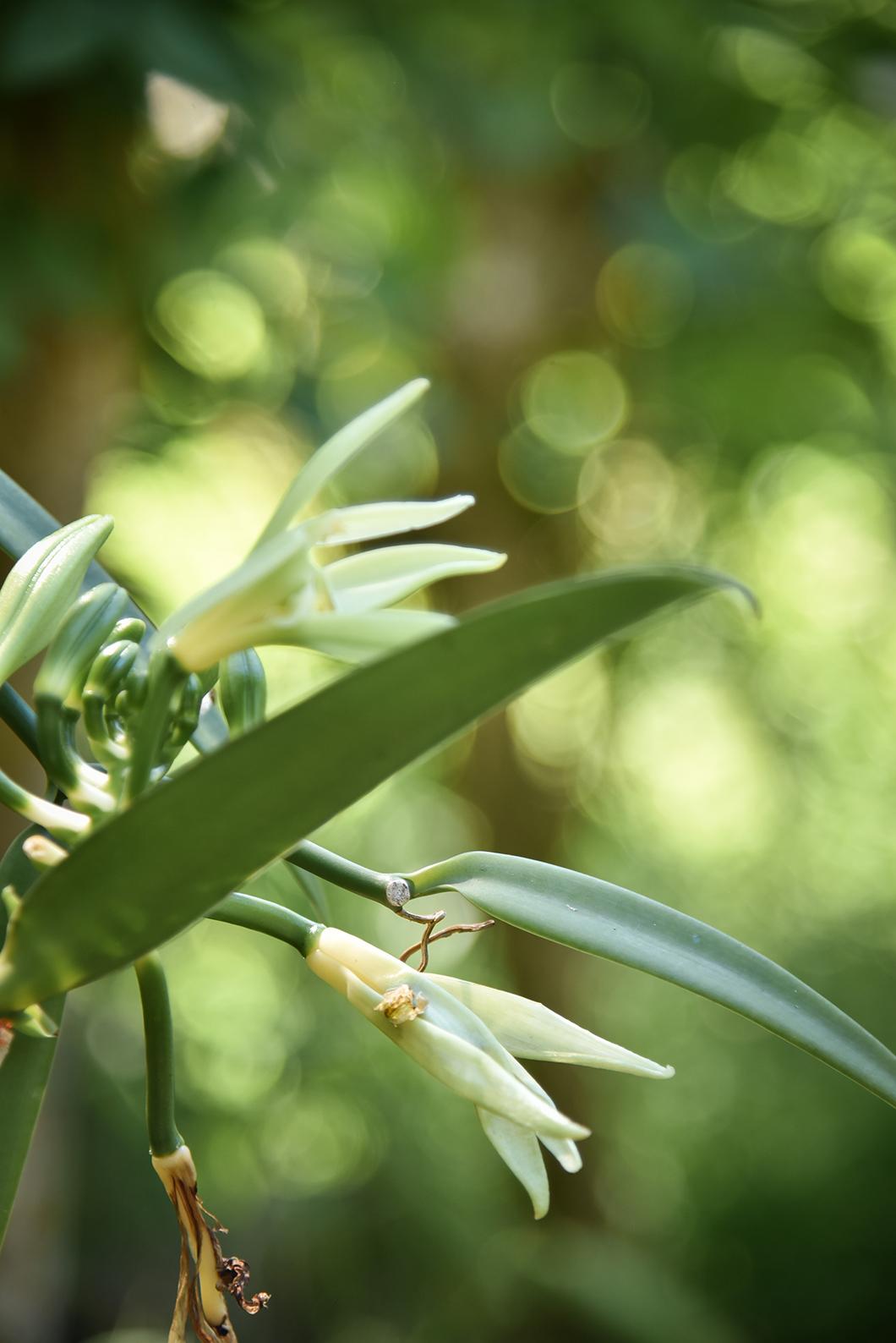 Production de vanille sur l'île de Taha'a, l'île de la vanille