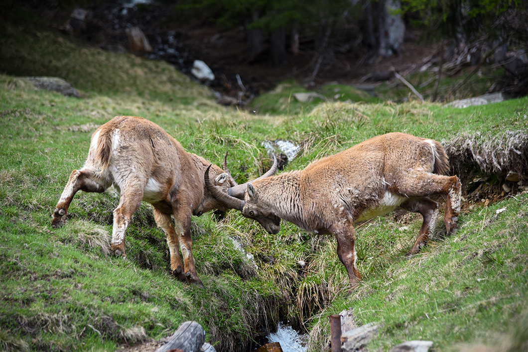 Que faire à Chamonix ? Voir les animaux du Parc du Merlet