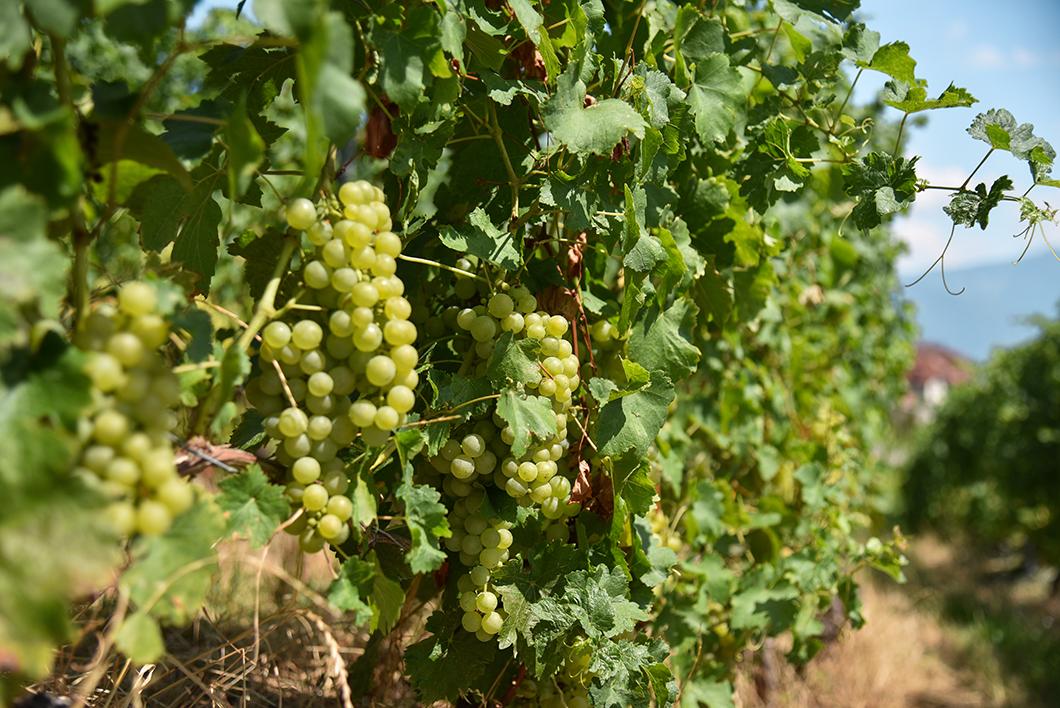 Aller aux vignes de Lavaux, incontournable au Lac Léman