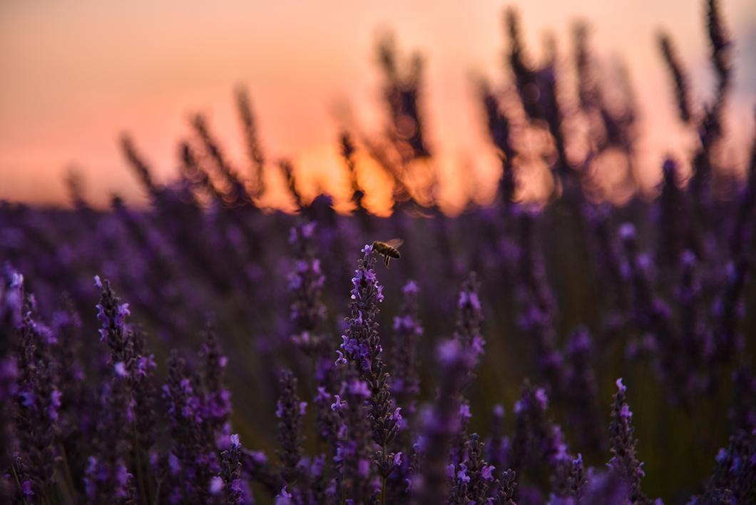 Assister au sunset dans les champs de lavande de Valensole