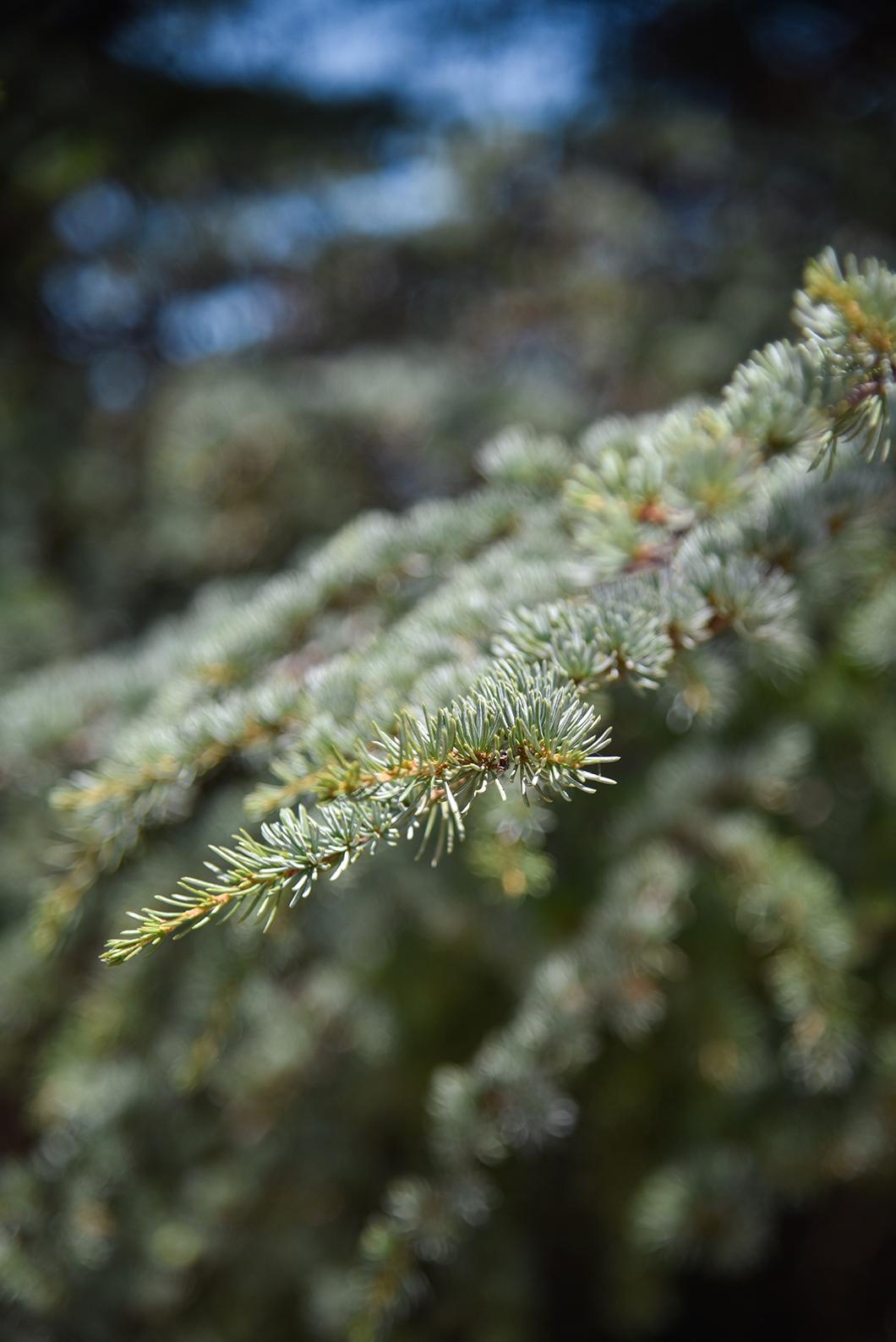 Forêt des cèdres, incontournable dans le Luberon